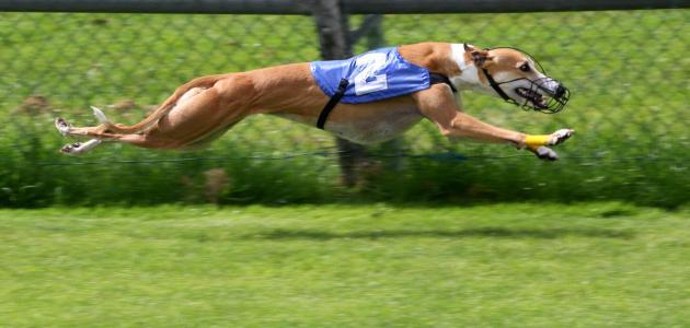 أسرع كلاب العالم