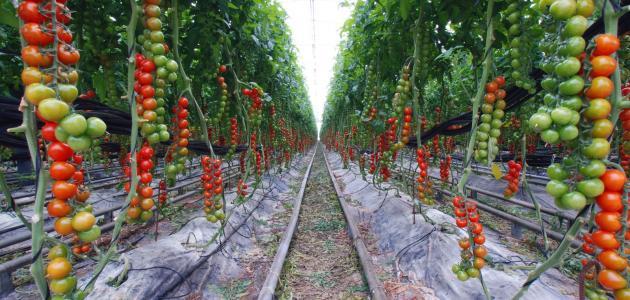 كيفية زراعة الطماطم في البيوت البلاستيكية
