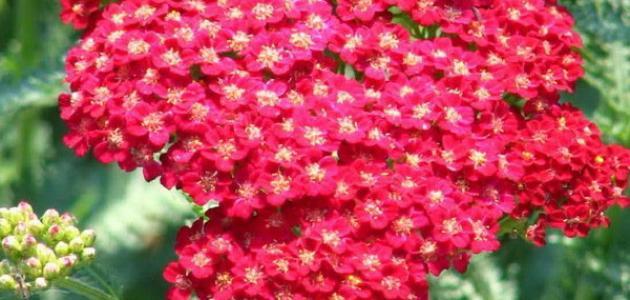 تصنيف النباتات الزهرية