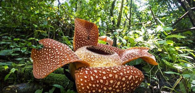 ما هي أكبر زهرة مزهرة في العالم