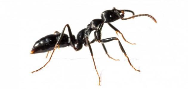 مم يتكون جسم النملة