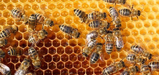 كيفية تكاثر النحل