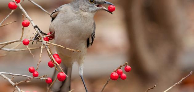 كيفية تربية عصافير الزينة