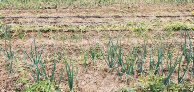 طرق زراعة البصل