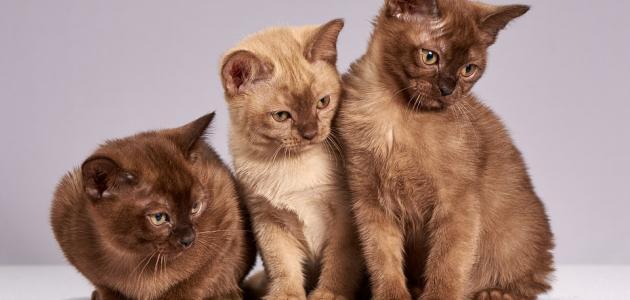 حكم تربية القطط في المنزل