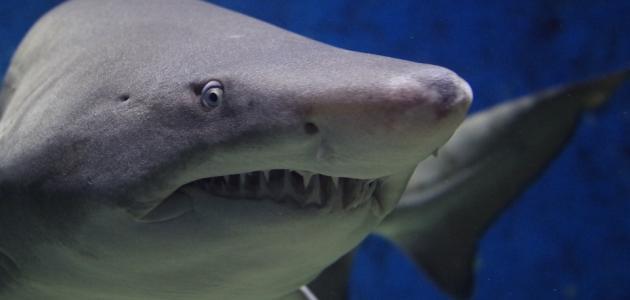 صفات سمك القرش