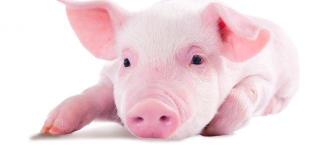 ما الحكمة من تحريم لحم الخنزير