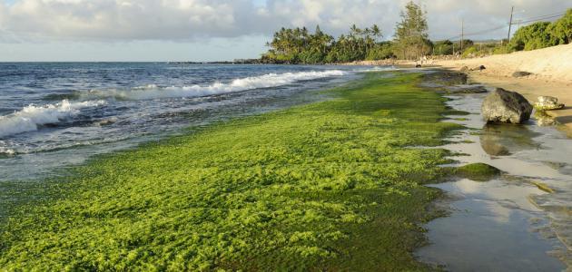 بماذا تشبه الطحالب الخضراء النباتات