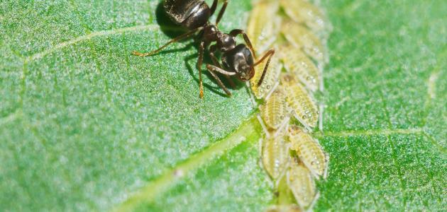 ما الذي يقضي على النمل