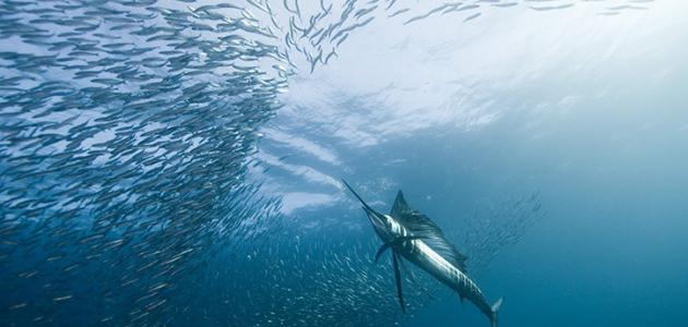 أسرع المخلوقات البحرية