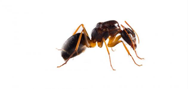 أفضل طريقة لطرد النمل