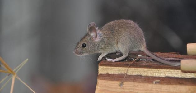 أفضل طريقة لطرد الفئران من المنزل