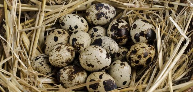 أضرار بيض السمان