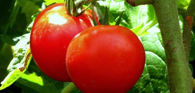 ما أضرار الطماطم