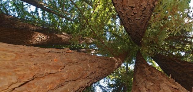 أكبر الأشجار في العالم