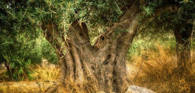 أكبر شجرة زيتون في العالم