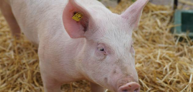 حكم أكل لحم الخنزير