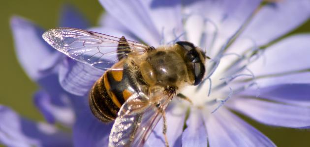 كيف يتغذى النحل