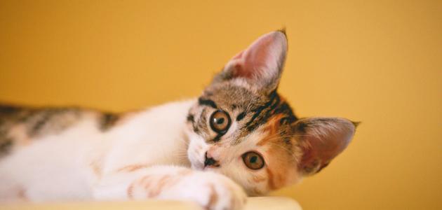 حكم اقتناء القطط
