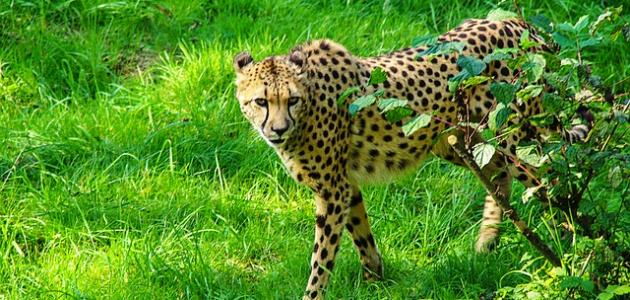 أسرع الحيوانات البرية
