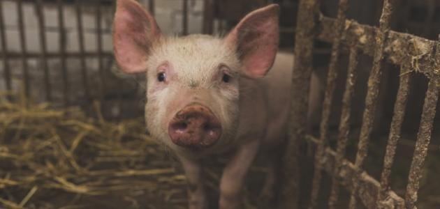 لماذا حرم أكل الخنزير