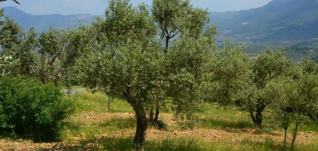 أشهر دولة في زراعة الزيتون