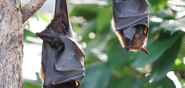 أين يعيش الخفاش