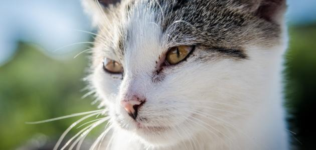 حكم إخصاء القطط