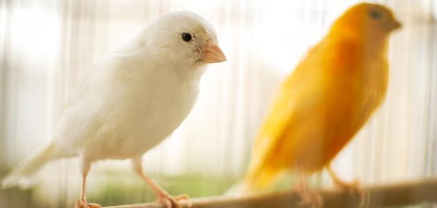 تربية العصافير الكناري
