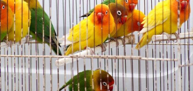 تربية العصافير فى المنزل