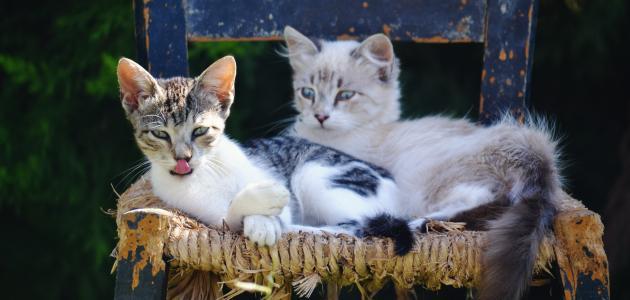 حساسية من القطط