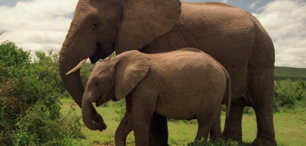 ما اسم أنثى الفيل