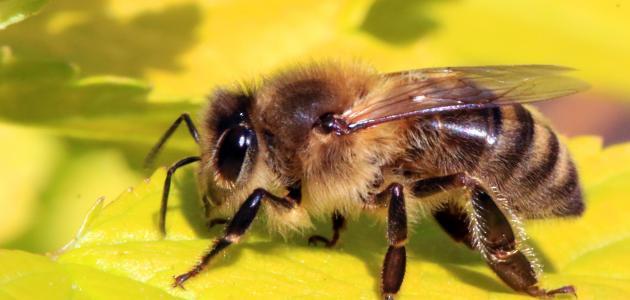 كيف يصنع النحل العسل