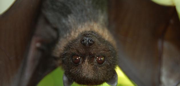 لماذا ينام الخفاش بالمقلوب