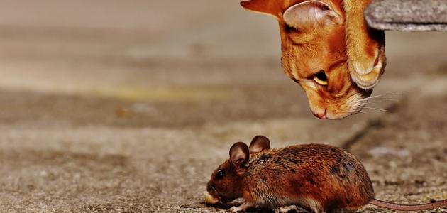 أفضل حل للفئران