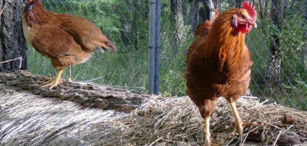 كيف يربى الدجاج