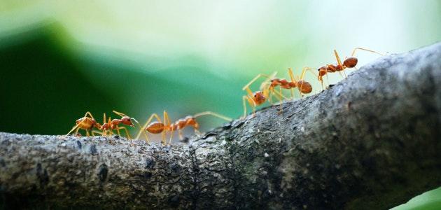 حلم النمل