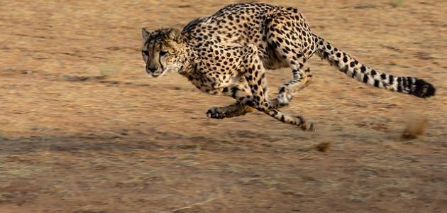 أسرع حيوان بري