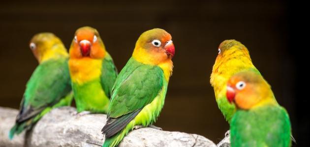 تربية عصافير الحب