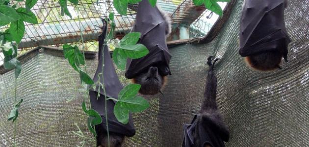 لماذا يقف الخفاش بالمقلوب