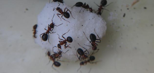 التخلص من نمل السكر