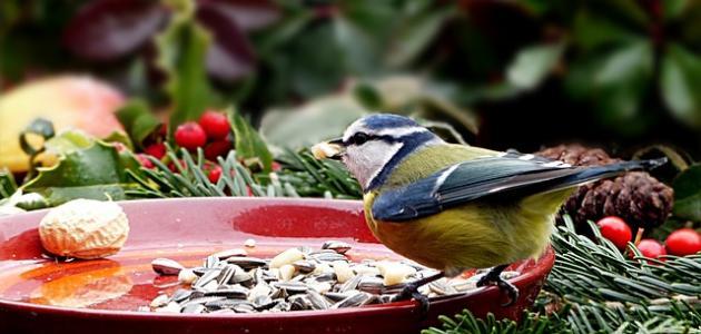 أكل العصافير