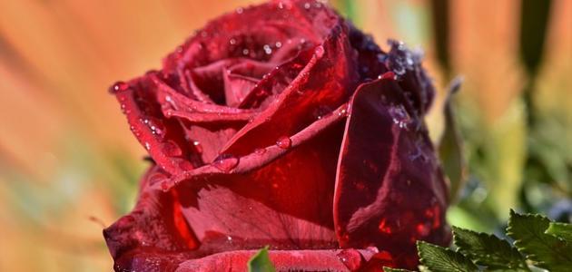 كلمات عن الورد الأحمر