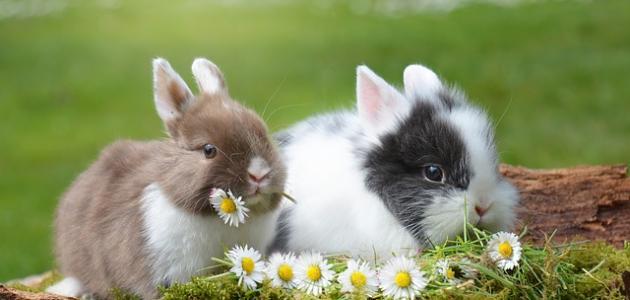 ابن الأرنب
