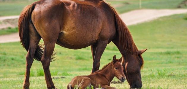 ابن الحصان