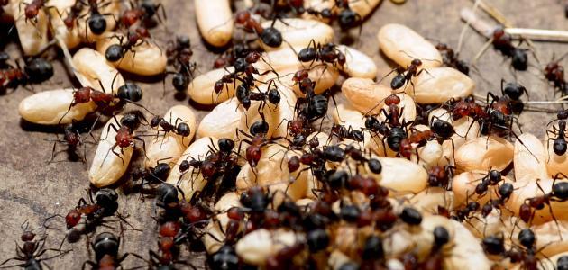 كيف تقضي على النمل