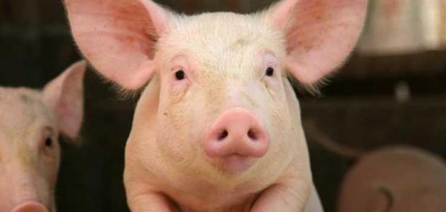 لماذا اكل الخنزير حرام