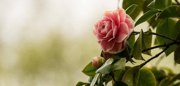 أجمل زهور