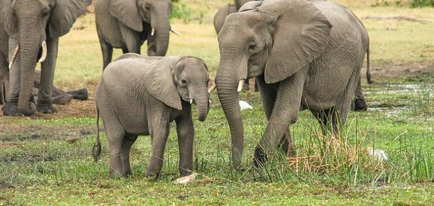 اسم أنثى الفيل