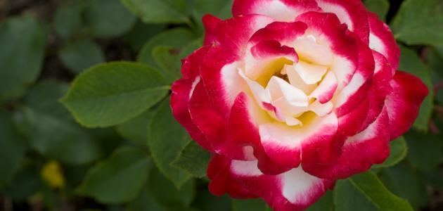 أجمل الورود الحمراء
